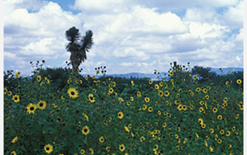 Photo of wild sunflowers in Nuevo Leon in the foothills of the Sierra Madre Oriental mountains.