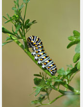 Photo of an Anise Swallowtail larva.