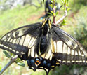 Photo of an adult Anise Swallowtail basking in the sun.