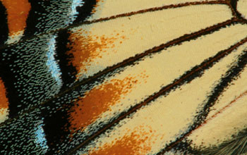 Close-up image of the wing scales of a male eastern tiger swallowtail butterfly.