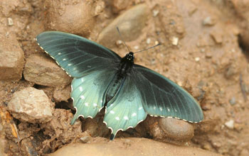 Photo of a pipevine swallowtail butterfly in the Great Smoky Mountains National Park, Tennessee.
