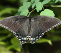 Photo of the black female form of the Appalachian tiger swallowtail.