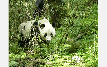 Scientists will conduct research on the interaction of pandas, humans and ecosystems in China.