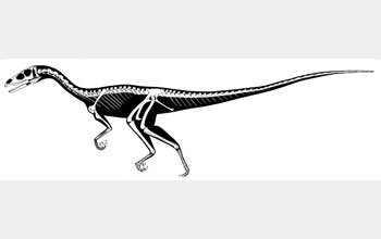 A reconstruction of the Tawa hallae skeleton.