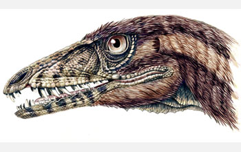 A reconstruction of the head of the newly discovered Triassic, carnivorous dinosaur, Tawa hallae.