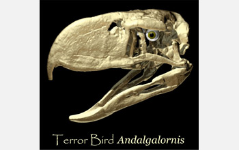 Skull of the terror bird Andalgalornis, an extinct flightless predatory bird found in Argentina.