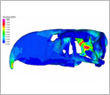 Simulation of stresses in the skull of the terror bird that occur when biting into prey.