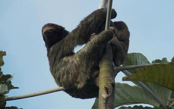 A mother and juvenile three-toed sloth in the tree canopy at the scientists' study site.