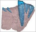 A CT scan of the front half of a gorgonopsid lower jaw. Bone is in blue, teeth are in red.