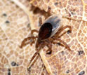 Photo of a nymphal blacklegged tick on leaf litter.