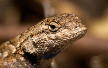 Photo of a Western fence lizard, Sceloporus occidentalis.