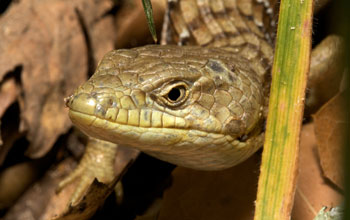 Photo of the head of an alligator lizard.