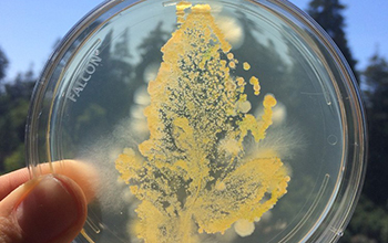 plate of agar stamped with the leaf of a greenhouse-grown tomato plant