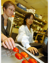 Photo of scientists analyzing the shapes and genetic variations of tomatoes using software program.