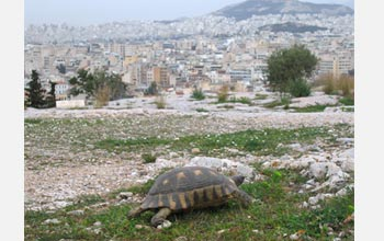 Photo of a tortoise on the edge of Athens, Greece.