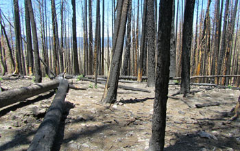 Burned tress at NSF's Jemez River Basin CZO and the Valles Caldera National Preserve.