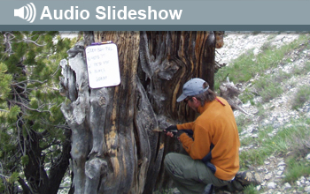 Photo of man boring into tree and the words Audio Slideshow