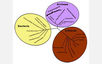 Illustration of the tree of life showing bacteria, archaea and eukaryotes.