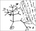 Sketch from Charles Darwin's notebook showing the first evolutionary tree.