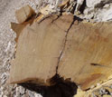 Photo of a tree trunk cross section.
