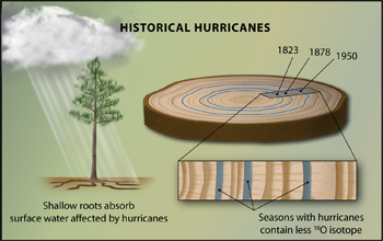 Oxygen isotopes in tree-rings can record hurricane activity up to 400 years ago.