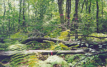 Fallen trees in the Harvard Forest