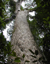 A canopy tree in Nouabale-Ndoki National Park.
