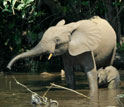 Adult African elephant and baby in a river.