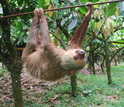 A two-toed sloth moves along a cable in a cacao plantation in northeastern Costa Rica