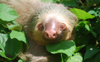 Close-up of a two-toed sloth in northeastern Costa Rica, where the study was conducted.
