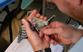 Scientist Marm Kilpatrick taking a blood sample from a downy woodpecker.