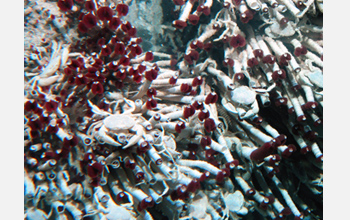 Photo of tubeworms and clams around a deep-sea hydrothermal vent.