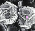 Image of a coccolithovirus (pink dot) infecting the widespread ocean plankton Emiliania huxleyi.