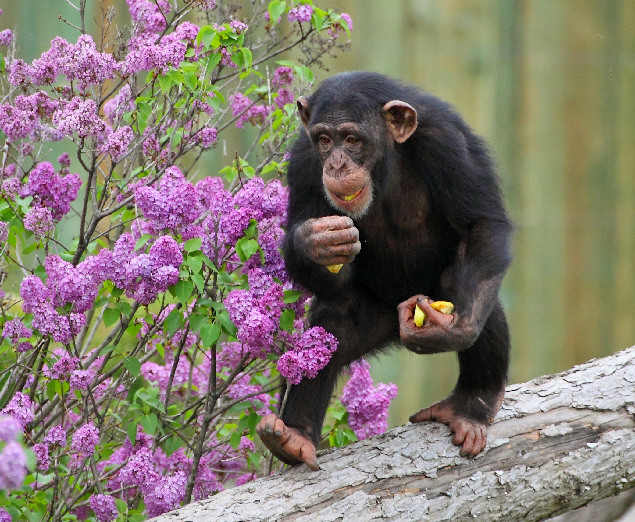 Great apes' heel-down posture helps support their body weight as they stand, walk and run.