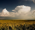 Photo of a field of grain produced by dryland agriculture.