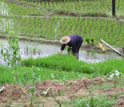 Photo of a woman working in rice paddies in ChangQing, China.