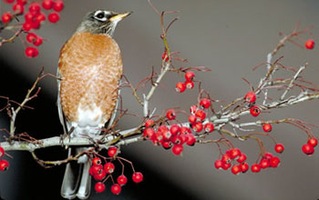Image of an American robin.