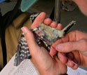Photo of scientist Marm Kilpatrick taking a blood sample from a downy woodpecker.