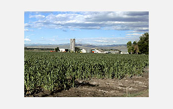 Photo of a field of corn with a barn and farm houses in the background.