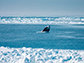 a bowhead whale breaches the waters surface