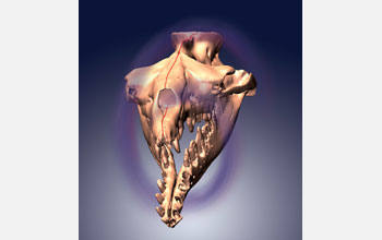 3-D model of asymmetrical skull of archaeocete whale Basilosaurus isis.