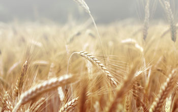 Close up photo of wheat plants ready for harvest.