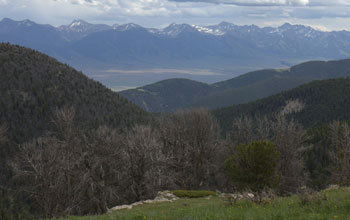 Photo of dead whitebark pine trees in a mountenous area