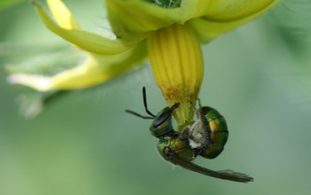 An augochlorine bee harvests pollen from a tomato flower.