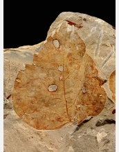 Fossil leaf from the Bighorn Basin, Wyo.