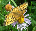 A Mormon Fritillary butterfly feeds on an aspen fleabane daisy, a main nectar source.