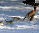 wolves hunting an elk in Yellowstone's deep winter snows.