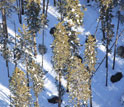 the Gibbon Pack taking cover in winter in a Yellowstone conifer forest.
