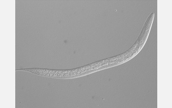 Photo of the nematode C. elegans.