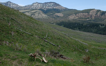 Photo of a partial elk carcass along the Northern Range in Yellowstone National Park.